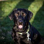 Pet Photography  Labrador Puppies Pet Love