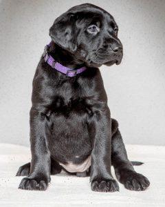 Labrador mom dog and her litter