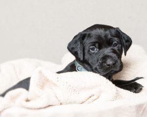 Black Lab puppy boudoir