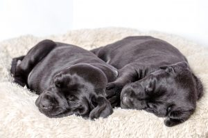 Black Lab puppy sleeping