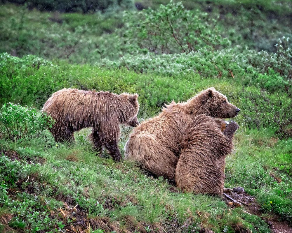 Brown bear mom and cubs in denali national park