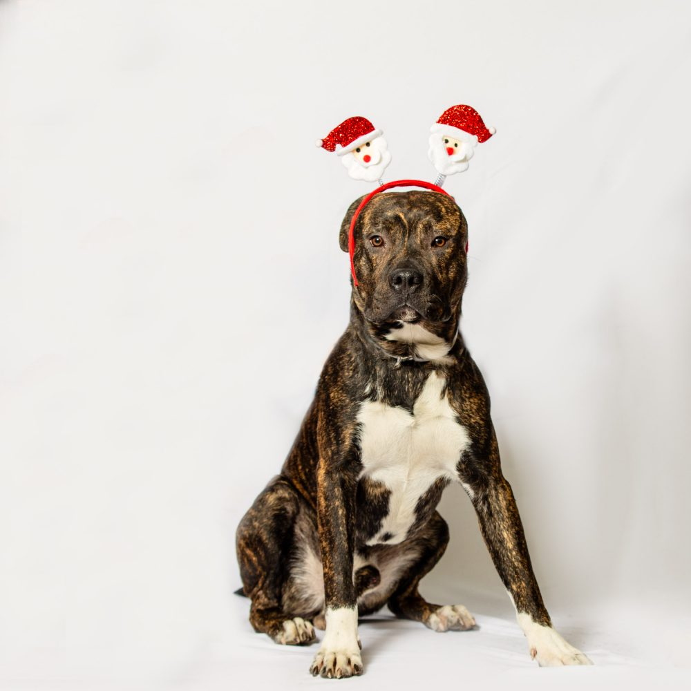 pitbull Pet xmas photo