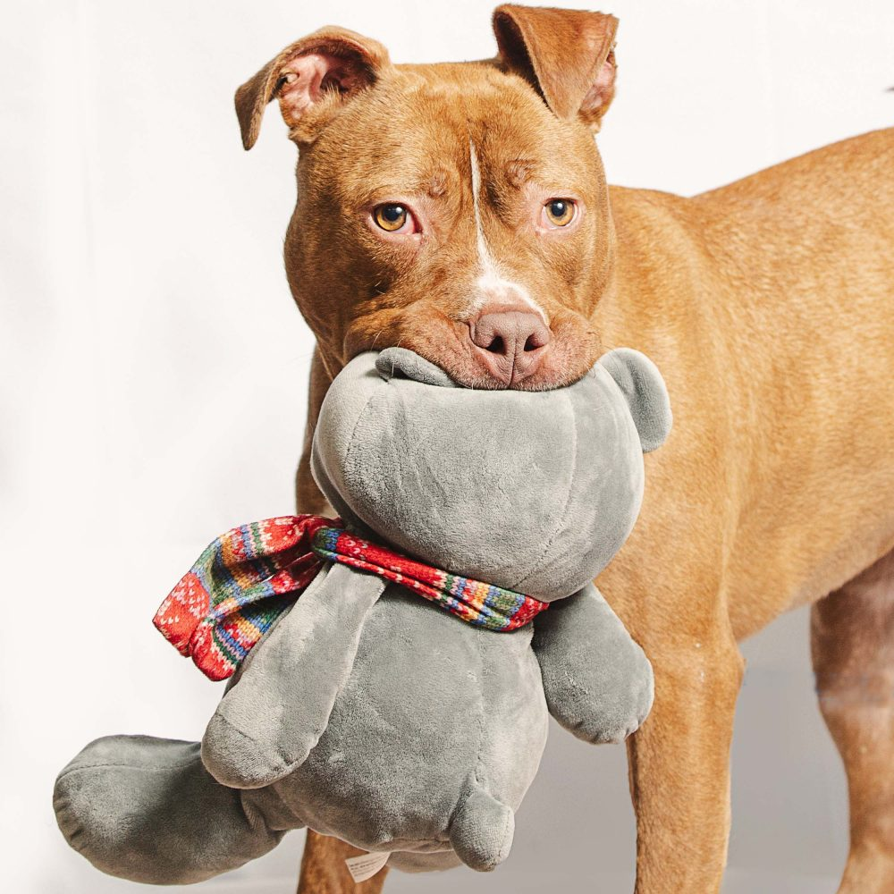 Cute pitbull playing with toys